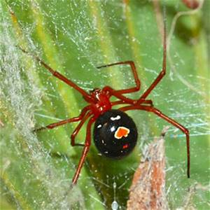 Diet of Florida's elusive red widow spider revealed by MU ...