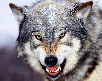 Wolf Face Would Things Wolves Fierce Gray