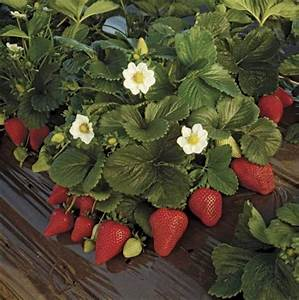 strawberry | fruit plant | Britannica.com