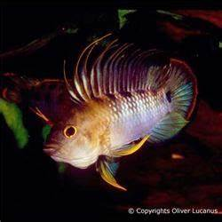 Apistogramma baenschi - Biological Research Institute of ...