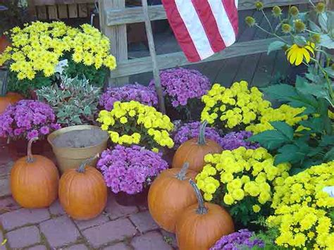 caring for mums care of fall mums boyert s greenhouse farm