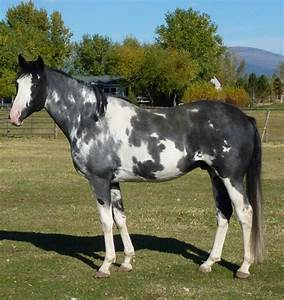155 best Horses - Overo images on Pinterest | Pinto horses ...