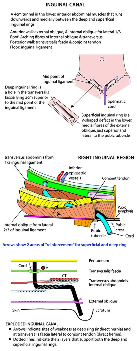 related keywords suggestions inguinal canal anatomy diagram