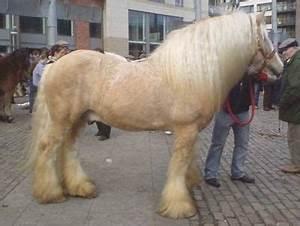 SHAMBO   Dreaming of Gypsies / Irish Cob   Horses, Cob und ...  Shambo