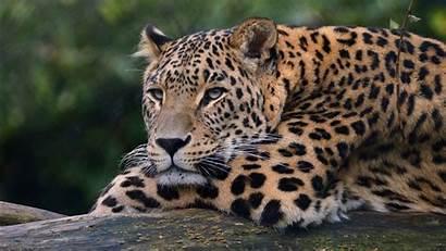 4k Leopard Ultra Wallpapers 1366