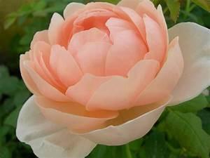 Rosa Ambridge rose® rose inglesi cespuglio online rose inglesi online