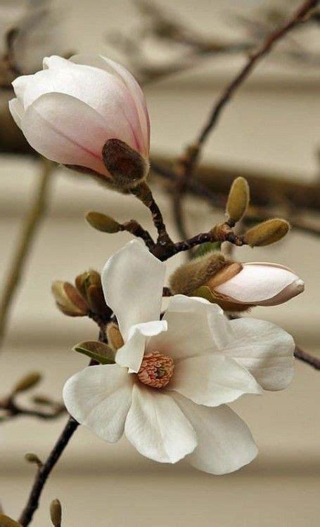Meadow Of The Linden Tree Fleur de magnolia