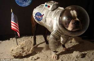 Look out! Here comes the spider dog... Boston Terrier ...