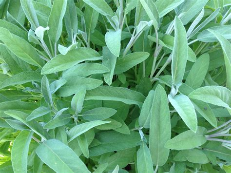 Tis The Season For Sage  Indiana Yard And Garden Purdue