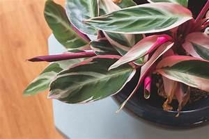 Zimmerpflanze Mit Roten Blättern : calathea die bl tter rollen sich ein korbmarante ~ Eleganceandgraceweddings.com Haus und Dekorationen