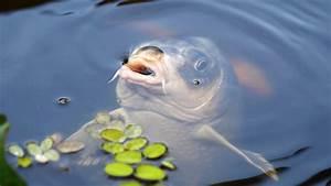 Karpfen Im Gartenteich : photo gratuite carpe koi poisson l 39 eau tang image ~ Lizthompson.info Haus und Dekorationen