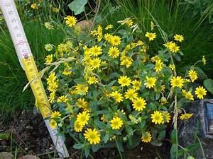 Große Pflanzkübel Winterhart : welche ca 20 cm gro e gelbe pflanze ist das pflanzen ~ Michelbontemps.com Haus und Dekorationen