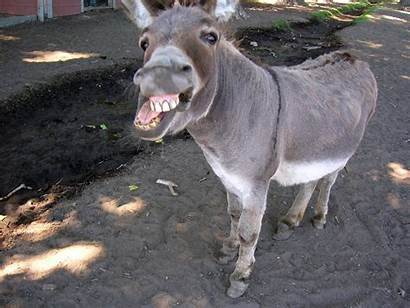 Funny Mule Face Very Animals Stubborn Faces