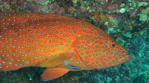 grouper definition meaning