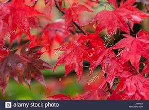 Ahorn Rote Blätter : ahorn japanischer ahorn acer palmatum leuchtend rote bl tter im herbst nach regen nass ~ Eleganceandgraceweddings.com Haus und Dekorationen