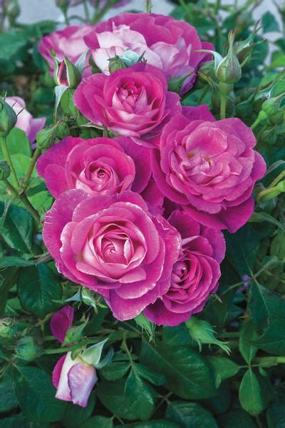 easy rosa floribunda easy regan nursery
