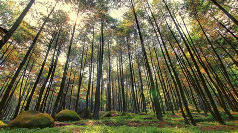 menelisik wisata hutan pinus malang  liburan keluarga