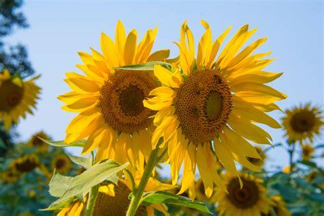 sunflowers   vase  stock photo