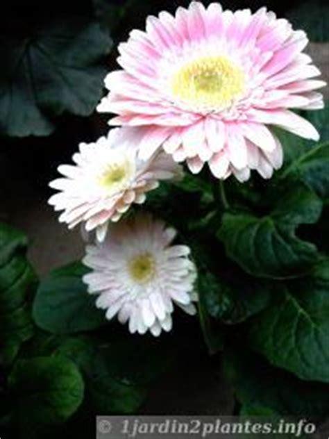 le gerbera aux fleurs multicolores du blanc au est utilis pour les bouquets