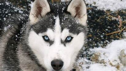 Siberian Huskies Wallpapers Husky Cave 1080p
