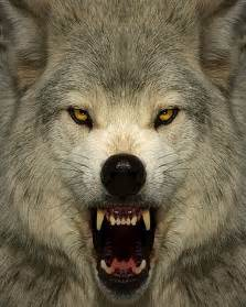 Angry Wolf Face Forward