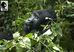 1000+ images about The Grauer's Gorilla on Pinterest