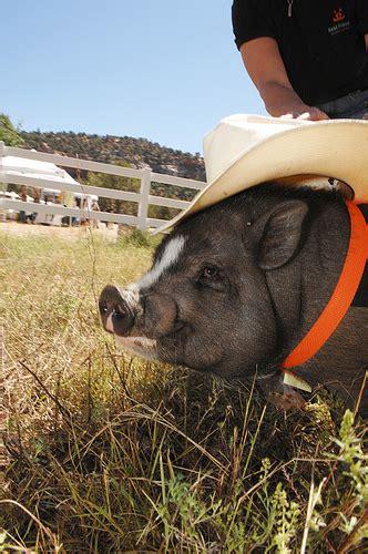 Fully Grown Micro Pig Ronieronggo