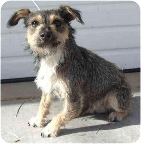 piper adopted puppy provo ut schnauzer miniature
