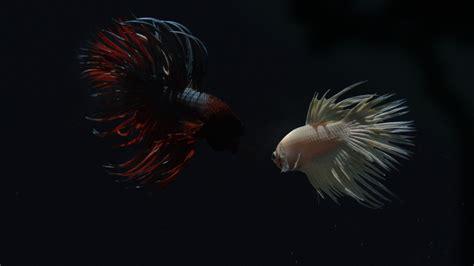 koleksi berbagai gambar jenis ikan cupang lengkap