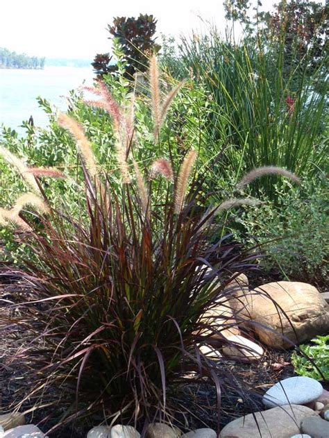 annual grasses for containers pin by shawna lacey on for the love of gardening pinterest