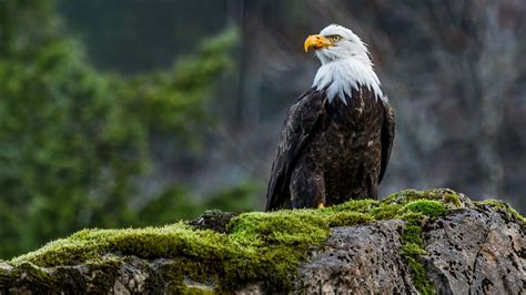 Animals Wallpaper Free Nature - animals nature wildlife eagle birds moss bald eagle