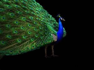 Beautiful, Peacock, Wallpapers, Free, Download