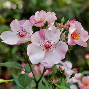 Sweet Pretty Rose : mua b n hoa h ng ph p sweet pretty rose c nh n b ng ch m p ~ A.2002-acura-tl-radio.info Haus und Dekorationen