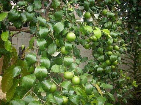 jual buah bidara  kg lebih murah  lapak aikoo happygarden