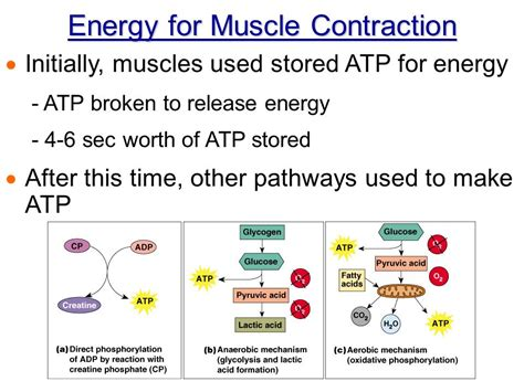 Chapter 6 The Muscle Physiology  Ppt Video Online Download