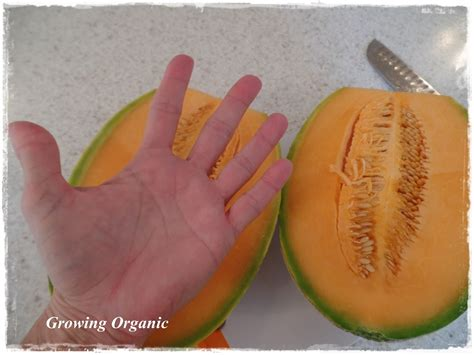 growing organic  melon family cantaloupes