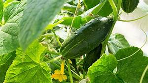 Quand Planter Un Pommier : quand repiquer les perfect plantation de tomates et ~ Dallasstarsshop.com Idées de Décoration