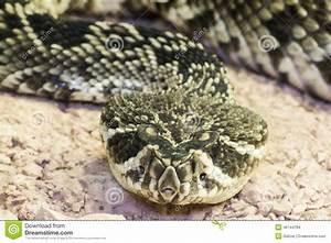 Eastern Diamondback Rattlesnake (Crotalus Adamanteus ...