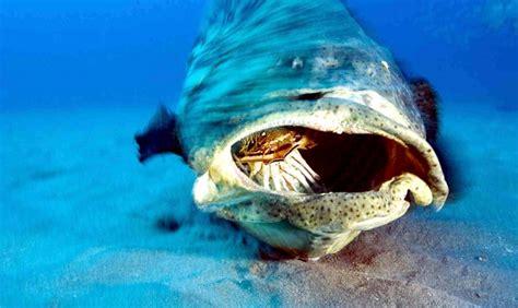 grouper giant ocean otlibrary