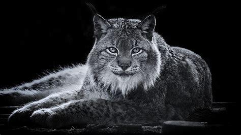 256 Lynx Fonds D'écran Hd  Arrièreplans Wallpaper
