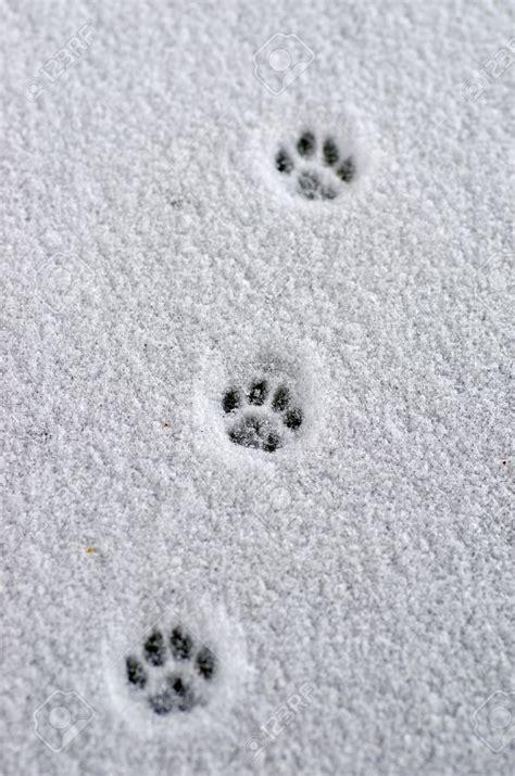 raccoon paw prints  snow google search animals