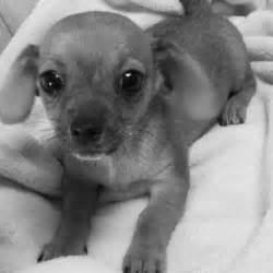 Chihuahua Dachshund Mix