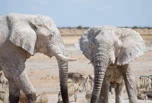 white elephant white elephants wild view