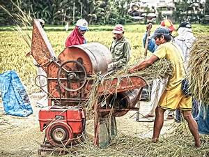 Rice Thresher In Action