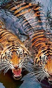 animal, tiger, and tigers image   Animals, Nature animals ...