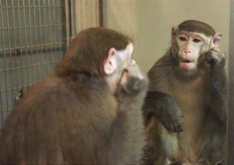 In A First, Monkeys Recognize Their Own Butts In The Mirror