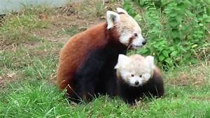 Cutest Baby Red Panda Ever - YouTube