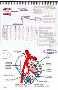 Branches Of Iliac Artery