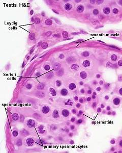 BGDA Practical - Male Reproductive Tract Histology ...