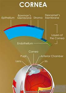 A Diagram Showing Part Of The Eye  Cornea And Its Layers